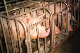 One of the smartest animals, pigs get a bad rap -- most live their complete lives in horrid conditions until they reach their ultimate destiny as part of your breakfast, your pizza topping or your barbecue sandwich.