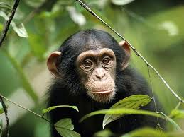 This little guy, whose DNA is almost identical to ours, eats nothing but raw plants.