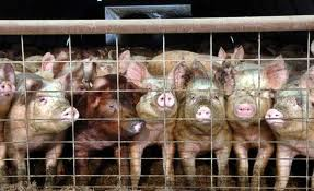 Let's not forget the lifetime suffering of billions of animals in factory farms so that we may eat their flesh.