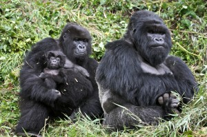 Gorillas, whose DNA is almost identical to humans, eat nothing but raw plants.